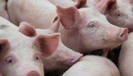 报告称我国生猪产能或于2022年恢复正常水平