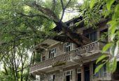 重庆400年老树穿楼生长,吸引众游客拍照留念