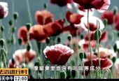 """昌平一对夫妇在院子里种了345株罂粟,理由居然是""""拌菜吃"""""""