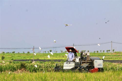 正在收割的稻田里,白鹭纷飞,一派自然和谐的景象。张红星 摄