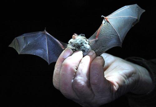 2013年1月18日,在德国法拉克福一家老酿酒厂内,德国自然和生物多样性保护联盟的志愿者手中的一只蝙蝠在伸展翅膀。(新华社/EPA欧新)