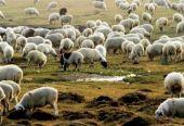 羊来了!蒙古国计划9月向中方移交3万只捐赠羊:待羊群肥壮后分批送出