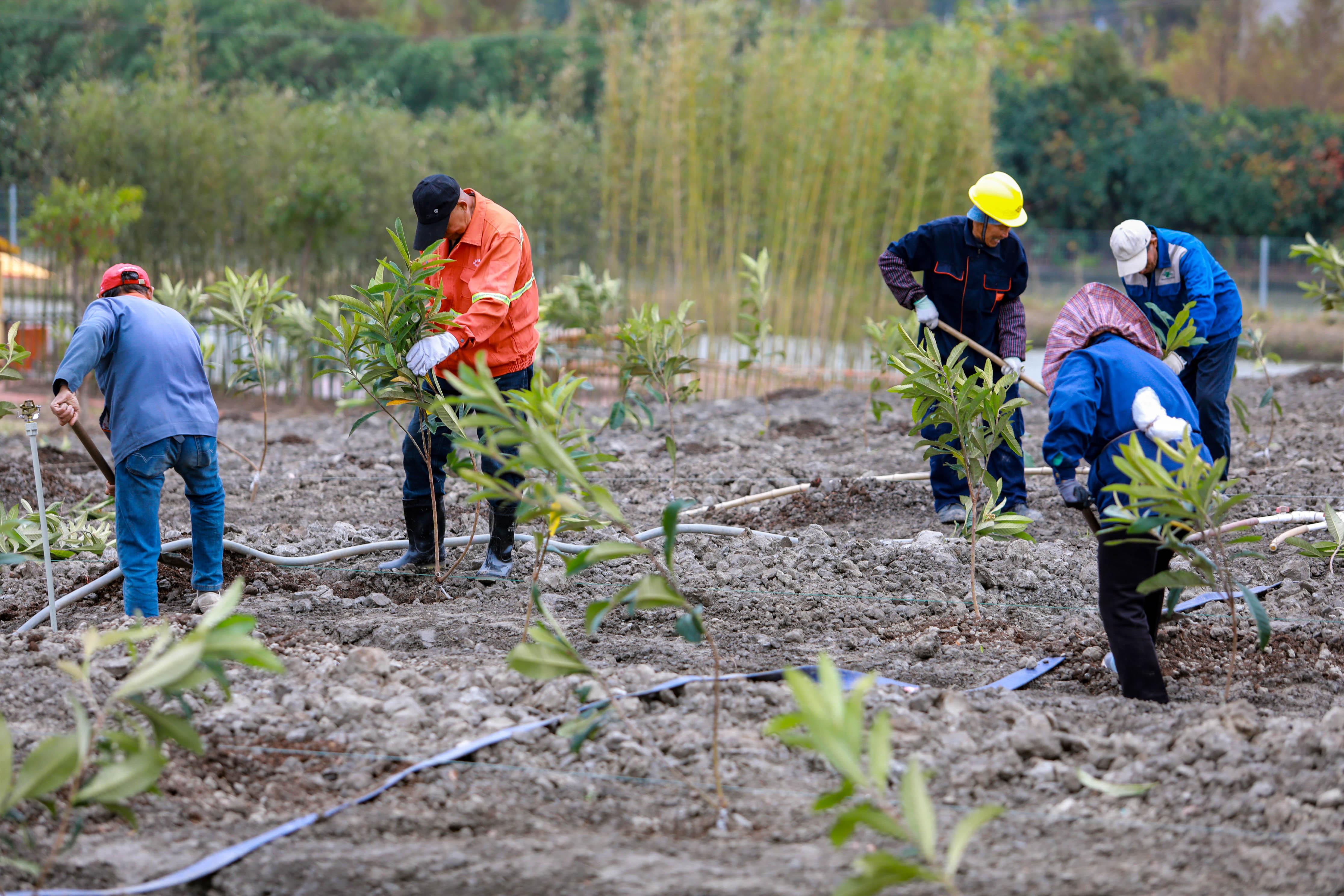 华严村村民自发来到橘米公社,和20余名实验小学的学生一起栽种400多棵枇杷树苗。