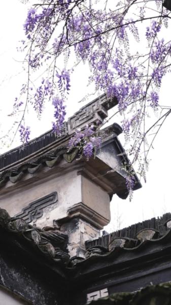 文衡山先生手植紫藤,历经四百余年风雨,依旧生机勃勃。