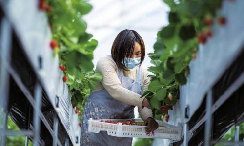 云南会泽:草莓产业为乡村振兴蓄力       云南省曲靖市会泽县种植草莓约5万亩,现有草莓初加工企业20余家。草莓产业带动当地服务业发展,实现农村劳动力家门口就业,不仅帮助百姓脱贫增收,也为乡村振兴接续发展蓄力。新华社