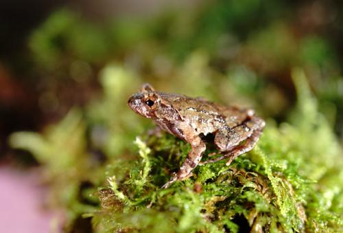 仅被发现分布于百山祖国家公园海拔1400-1600米狭窄范围内的百山祖角蟾。丽水市委宣传部供图