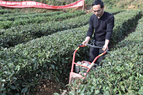 技术人员在庙堂坝村茶园进行开沟施肥示范。