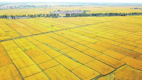 吉林省四平市梨树县孤家子镇金灿灿的水稻田。钱文波/摄